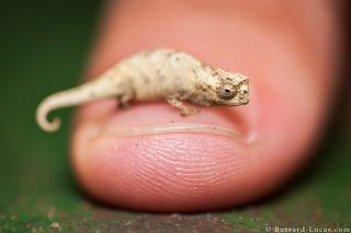 Brookesia on Thumb