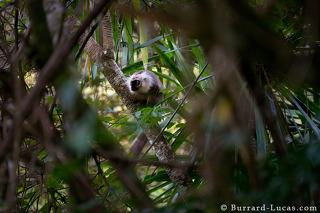Sanfords Brown Lemur